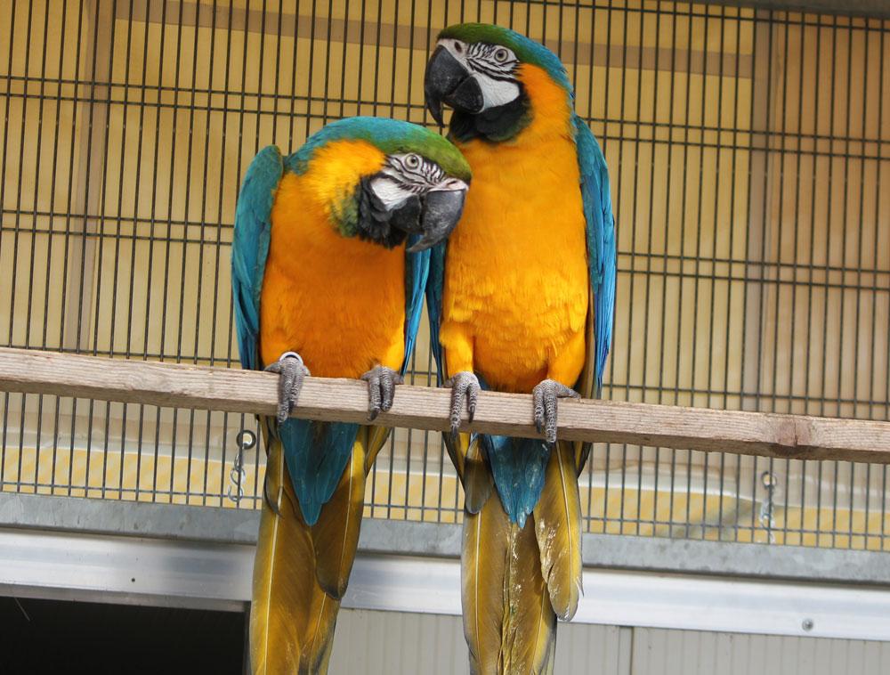 Ara giallo e blu